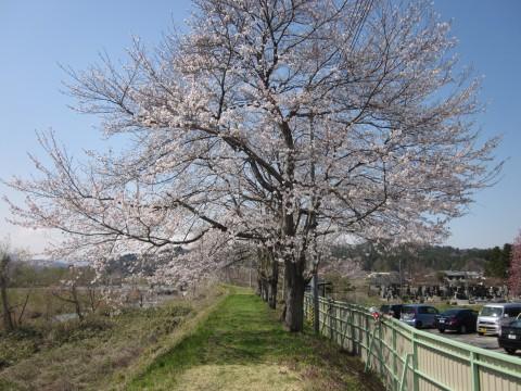 りつわ桜大満開~咲き~っ!!!