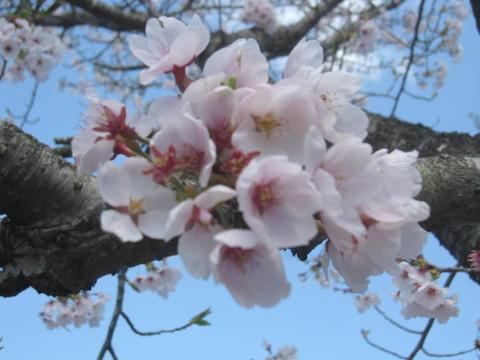 お花見 七ツの森